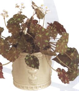 begonia-boweri