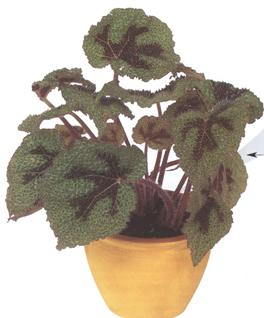 begonia-masoniana