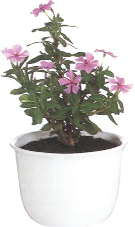 catharanthus