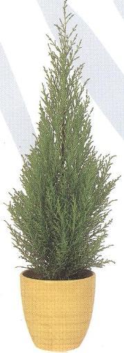 cypressus