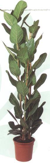 ficus-benghalensis