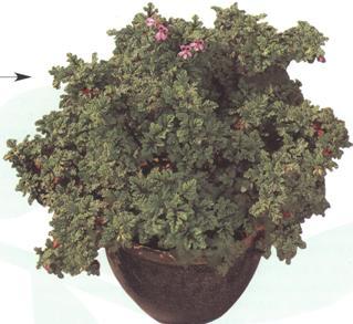 pelargonium-quercifolium